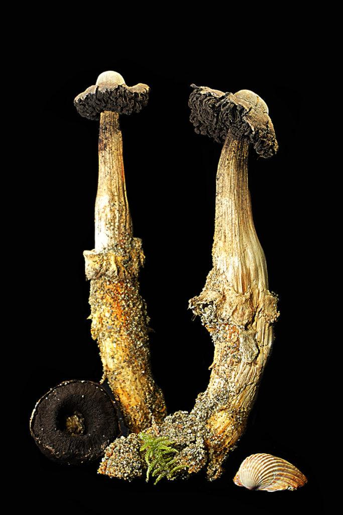 05 Agaricus aridicola - foto A.Contin