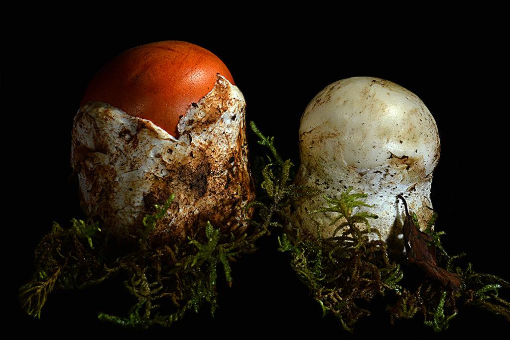 06 Amanita ovoidea e caesarea - foto A. Contin